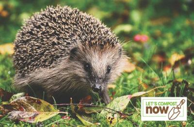 Hedgehog in a garden