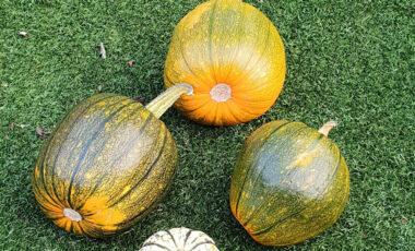4 pumpkins on a lawn