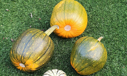 4 pumpkins on a lawn