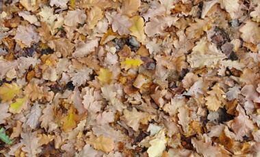 Pile of Oak tree leaves